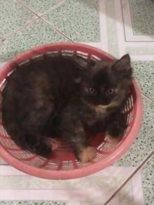 5 bé mèo Anh Lông Dài  màu Trắng, Nâu, Xám