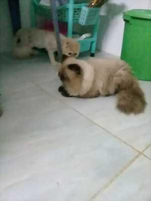 Mèo 34 thuần chủng màu hyma . Mèo giống