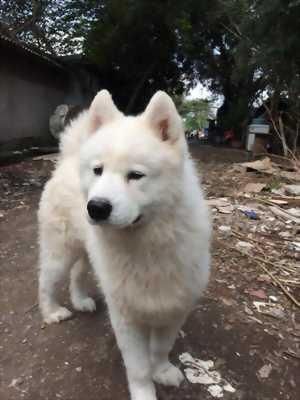 Cần bán Chó Samoyed đực