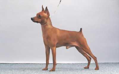 Cần bán giống chó Phốc Hươu binbin nhà đẻ, được chăm sóc tốt.