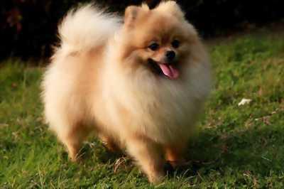 Nhà mình có 2 em trai Phốc Sóc hơn 2 tháng tuổi muốn để lại cho các bạn nào thích và yêu chó.