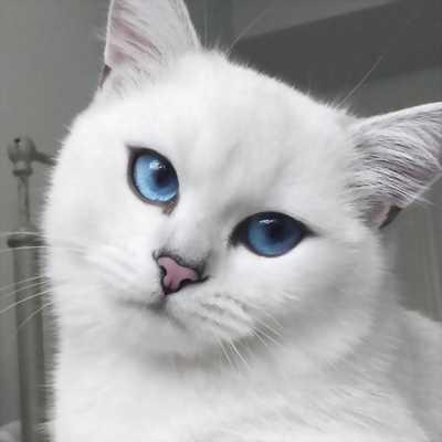 Mèo lai màu trắng mắt xanh cần bán lại giá rẻ.