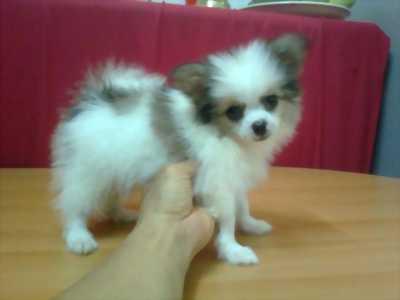 Đôi chó con giống thái lan, mang màu long tuyệt đẹp cần nhượng lại.