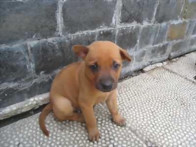 Đàn chó con Phú Quốc mới sinh nhà nuôi nay đông quá nên cần bán bớt.