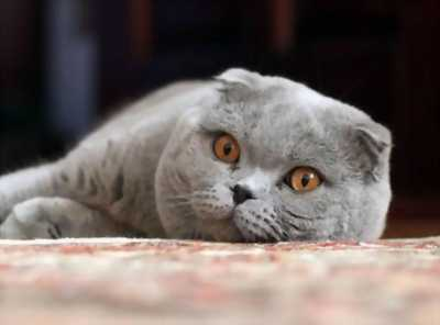 Bán gấp bé mèo anh lai xám xanh cực dễ thương luôn