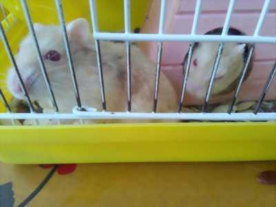 cần bán Cặp hamster đực