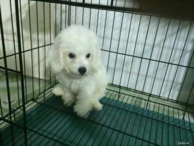 Poodle trắng 2 tháng tuổi - Bình Dương