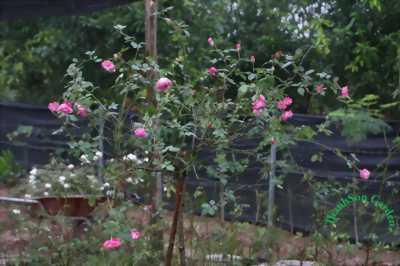 Cần thanh lí mấy cây hồng cổ giá rẻ