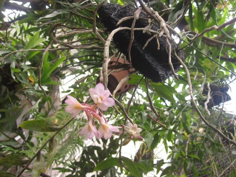 Hoa phong lan đẹp mê ly. phi điệp tím. 5gio/1goc
