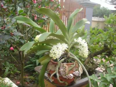 Cần bán giỏ phong lan