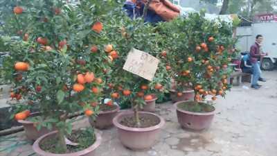 Chậu cây& gốc cam canh