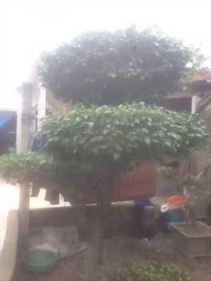 bán cây cảnh cây sanh cây si