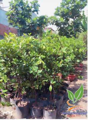 Trồng Cherry Brazil, trái ăn quanh năm