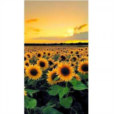 Gạch tranh 3d cánh đồng hoa hướng dương