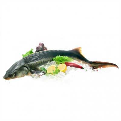 Chuyên cung cấp cá tầm sỉ và lẻ