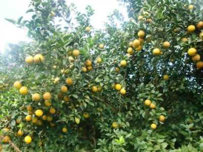 Bán cam Vườn nhà trồng