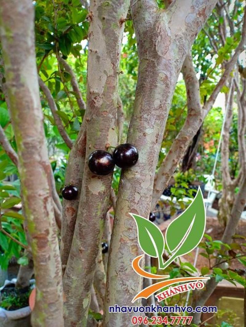 Tết sung túc cùng cây tứ quý NHO THÂN GỖ đang ra trái!!!