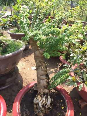 Bông Giấy Mỹ, gốc gồ ghề lâu năm dáng đẹp