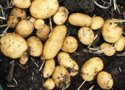 Bán khoai tây bắc - chất lượng - uy tín