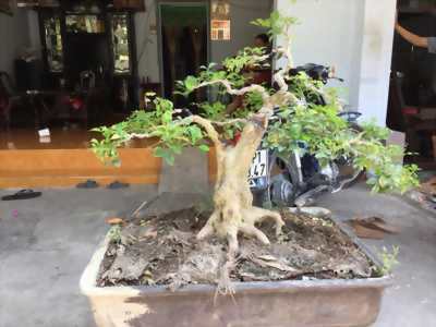 Cây Nguyệt Quế Bonsai dáng đẹp