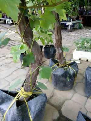 Cây nho giống xanh Và đỏ Ninh Thuận