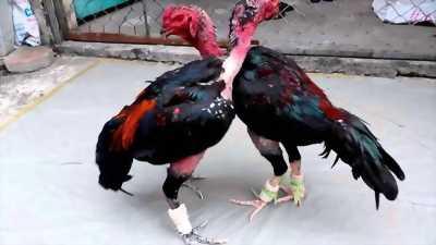 Bán gà chọi tuyển cho anh em tại cẩm giàng