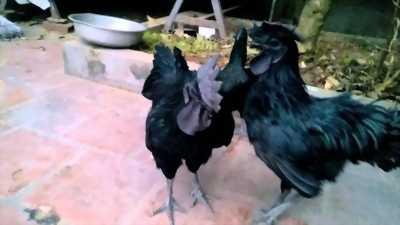 Cặp trống mái gà đen indo(gà mặt quỷ) gần đẻ
