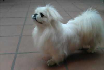 Chó Bắc kinh cái 2 tháng tuổi