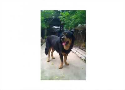Nhà mình có một chúc chó RỐT lai NGAO HIÊN cần tìm chủ mới, chó đẹp, ăn uống tốt, không bệnh tật gì, giá cả hữu nghị nhé các ae.