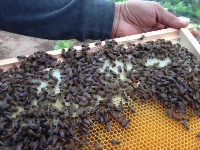 Mật ong nội