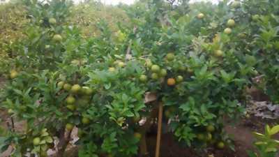 Thanh lí 2 tấn chanh không hạt vườn nhà giá rẻ
