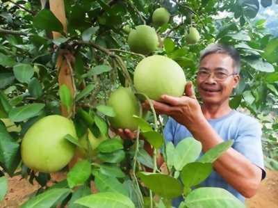 Bưởi làng Lâm - Thứ quả đặc sản nổi tiếng của Hải Phòng