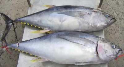 Cá Thu, Cá ngừ (ù)