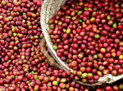 Cung cấp cà phê, bơ, tiêu tại Việt Nam- KTC Việt Nam