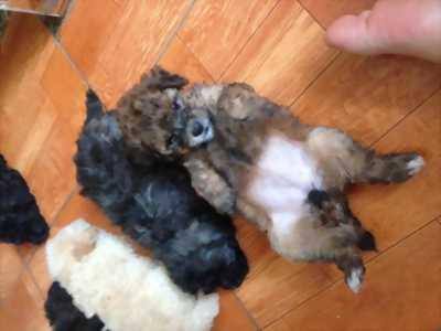 Tìm nhà mới cho đàn poodle tiny