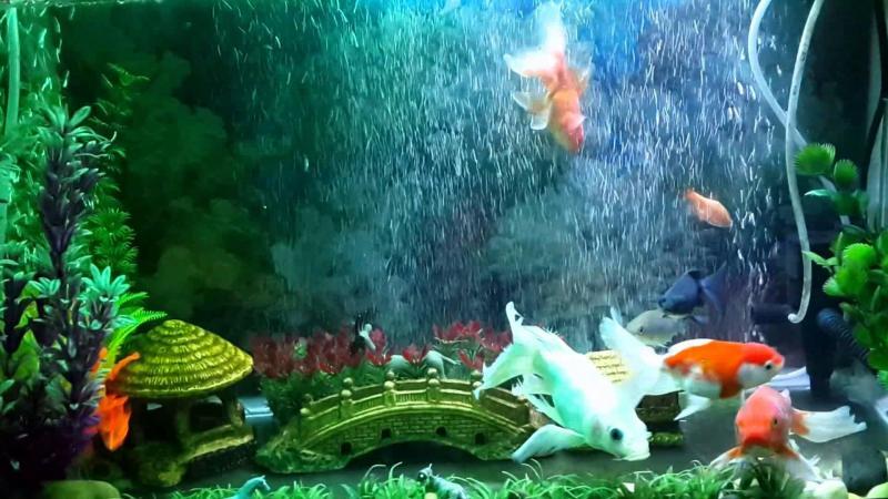 Bật mí một vài cách nuôi cá cảnh trong nhà