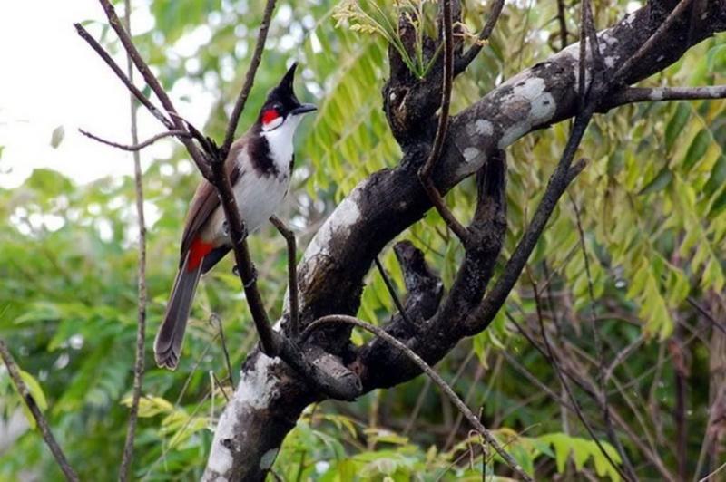 Chào mào Trung Mang, loài chim không đụng hàng và đắt nhất miền Trung