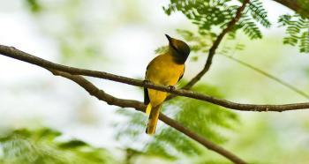 Các loại chim cảnh đẹp ở Việt nam được yêu thích nhất