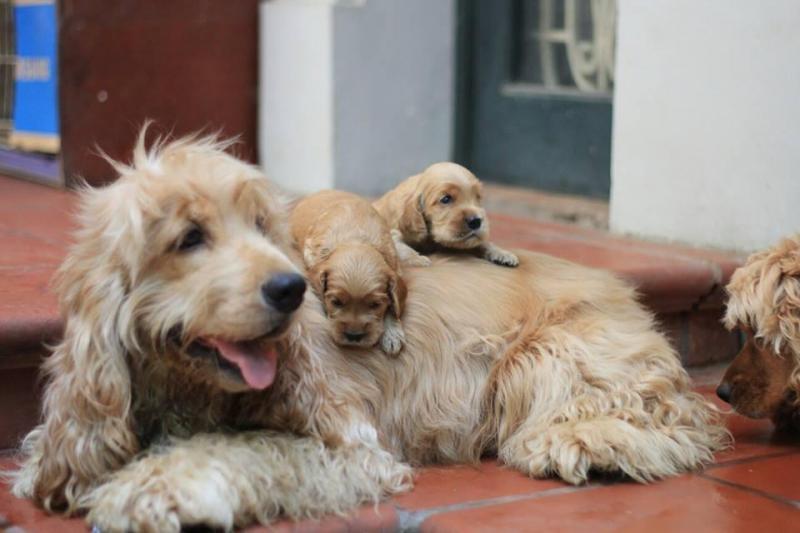 Thú chơi chó cảnh - một thú chơi tốn kém