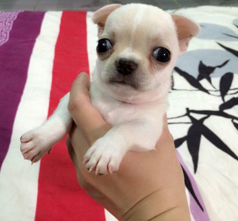 Khám phá các lưu ý trong cách chăm chó chihuahua giá 500k