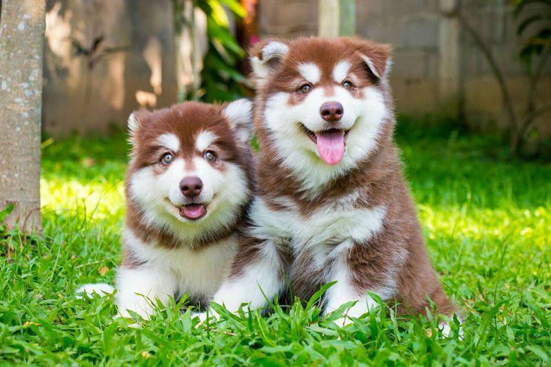 Danh sách các trại chó alaska uy tín nhất ở Hà Nội và TPHCM