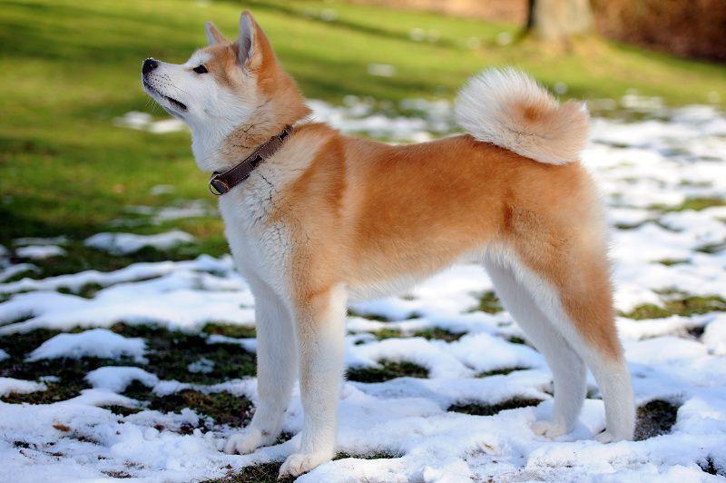 Những giống chó Nhật khiến giới chó cảnh mê mẩn