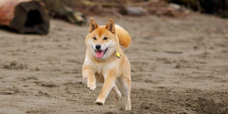Chó Shiba có đặc điểm gì? Mua chó Shiba giá bao nhiêu?