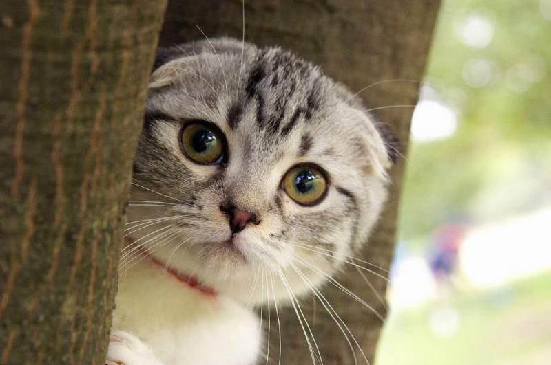 Đăc điểm tính cách nổi bật của mèo scotland tai cụp