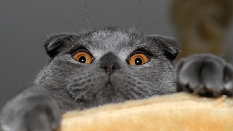 Tìm hiểu về mèo tai cụp và giá mèo tai cụp?