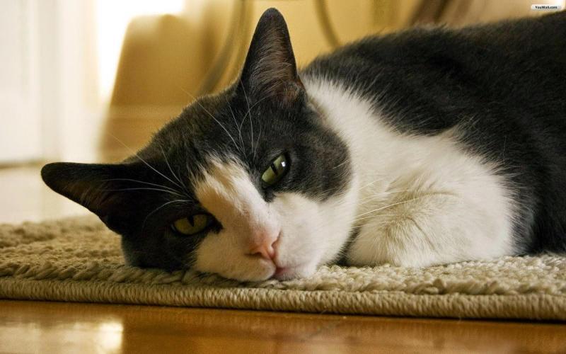 Bật mí những giống mèo đẹp giá rẻ tại Hà Nội