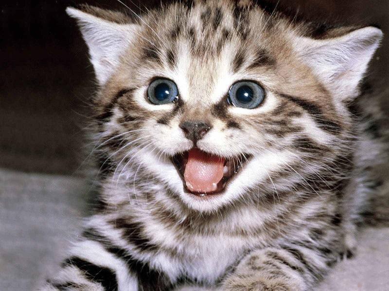 Những loài mèo đẹp nhất trên thế giới mà ai cũng cần biết