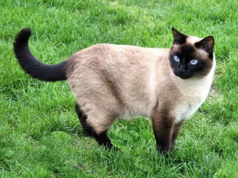 Những loài mèo kiểng giá rẻ đẹp nhất