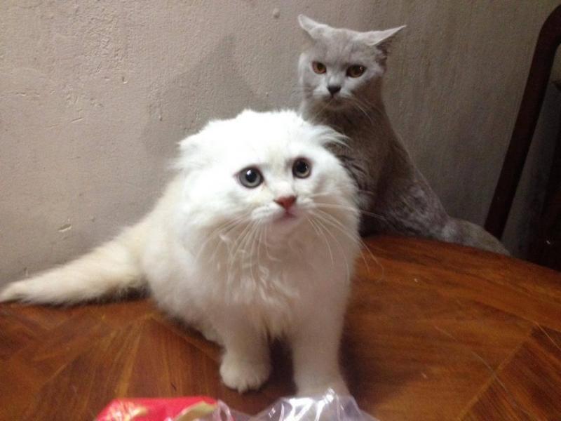Các địa chỉ bán mèo cảnh uy tín cho người cần mua mèo