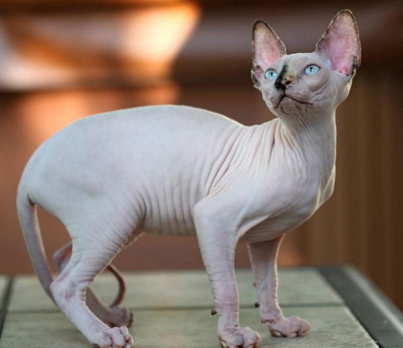 Các giống mèo trên thế giới có giá đắt nhất